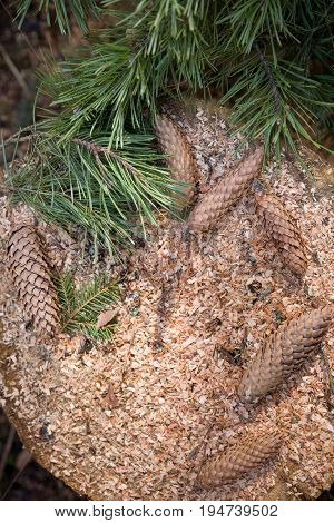 Top view on pinecones and pine branches on old tree stump. Nature.