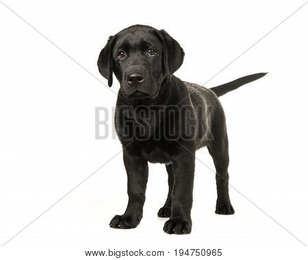 Young adult black labrador retriever standing isolated on a white background