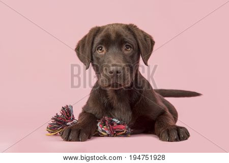 Brown labrador retriever puppy lying down seen from the front with its paws in front of her holding a knotted rope bone toy and looking cute straight at the camera on a pink background