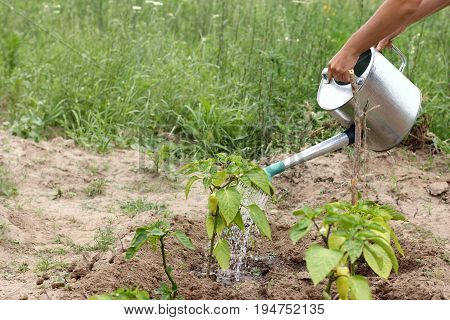 gardener with a metal watering can sprinkles green pepper bushes/ Summer cares in the garden