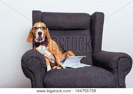 Beagle Dog In Eyeglasses And Bow Tie Sitting On Grey Armchair With Newspaper