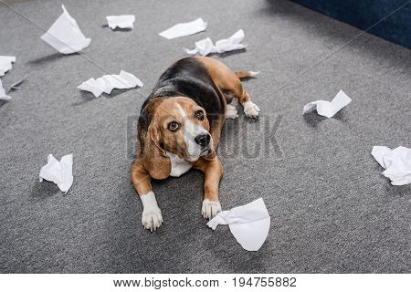 Guilty Beagle Dog With Torn Paper Lying On Floor At Home