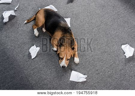 Top View Of Guilty Beagle Dog With Torn Paper Lying On Floor At Home