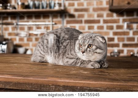 Grey Fluffy Scottish Fold Cat Lying On Wooden Tabletop In Kitchen