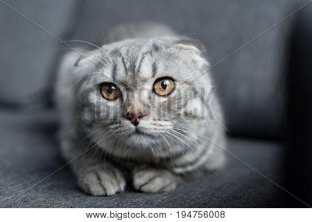 Portrait Of Grey Scottish Fold Cat Lying On Sofa At Home