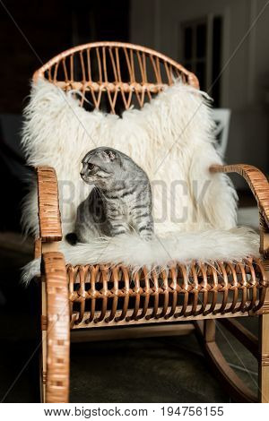 Fluffy Scottish Fold Cat Sitting On Rocking Chair With Woolly Blanket