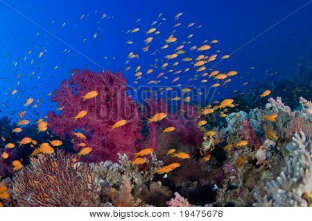 Colorful soft corals and orange fishes - a series of UNDERWATER IMAGES.