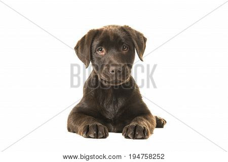 4 months old brown labrador retriever puppy lying down seen from the front with its paws in front of her and looking straight at the camera isolated on a white background