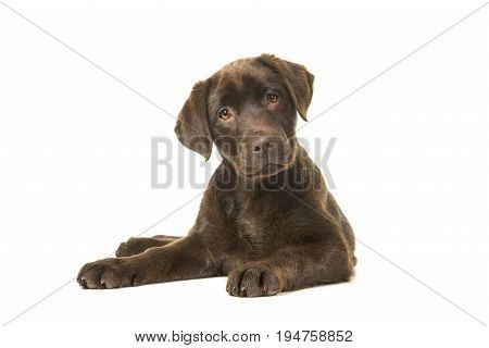 4 months old brown labrador retriever puppy lying down seen from the front with its paws to the left tilting its head and looking at the camera isolated on a white background