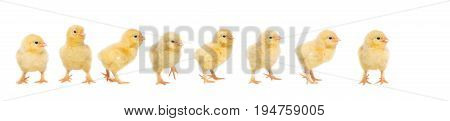 Eight yellow baby chick walking behind each other isolated on a white background