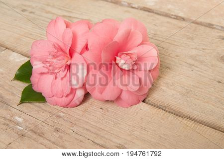 Two blooming pink camelia flowers on a wooden plank background