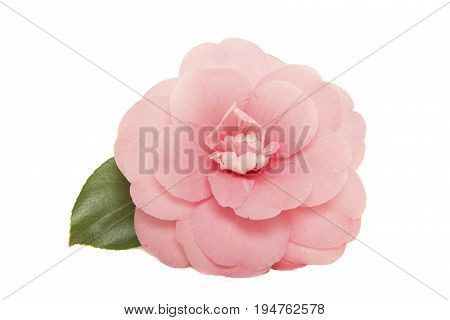 Single blooming pink camelia japanese rose with leaf isolated on a white background