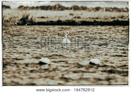 Old Fashioned Black And White Photo Of Mute Swan (cygnus Olor), Swimming, Leiden, The Netherlands, J