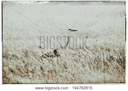 Old Fashioned Black And White Photo Of Grey Heron (ardea Cinerea) Sideview In Grass.