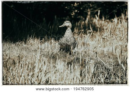 Old Fashioned Black And White Photo Of Mallard (anas Platyrhynchos) Female Walking On Grass Of Shore