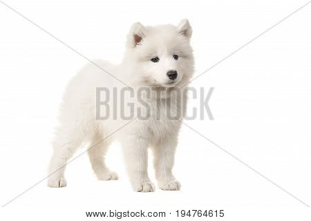 Cute white samoyed puppy seen from the side isolated on a white background