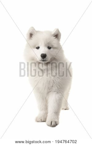 Cute standing white samoyed puppy seen from the front looking at the camera isolated on a white background