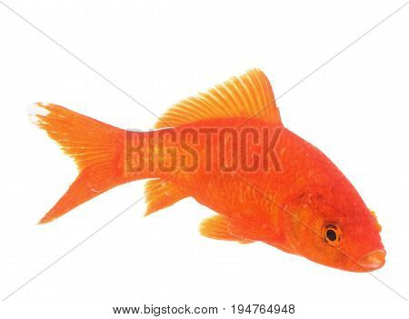 red goldfish in front of white background