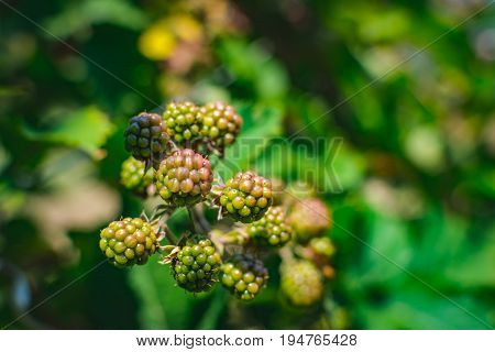 The blackberry is an edible fruit produced by many species in the Rubus genus in the Rosaceae family, hybrids among these species within the Rubus subgenus, and hybrids between the Rubus and Idaeobatus subgenera.