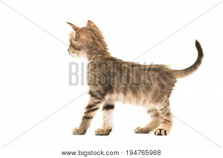 Standing tabby turkish angora baby cat seen from the back isolated on a white background