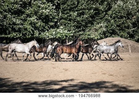 Purebred horses galloping through on animal farm summertime. Horse herd run gallop across animal farm in the dust against green natural background