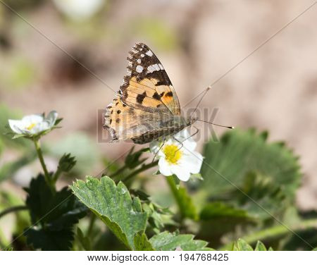 Macro of a Butterfly Cacyreus marshalli on a strawberry flower