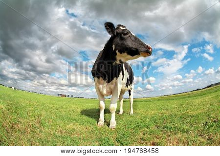proud cow on pasture over sky via fish-eye lens