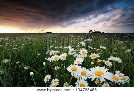 field with chamomile flowers at stormy sunset