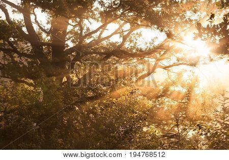 misty morning sunbeams through oak tree branches