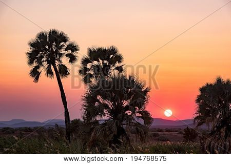the beautiful Palmwag Palmtrees in the Sunset