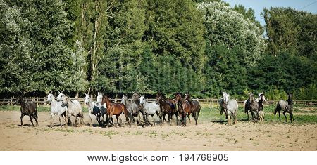 Horse herd run gallop across animal farm in the dust against green natural background