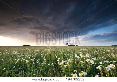 dark stormy cloud over chamomile field in summer