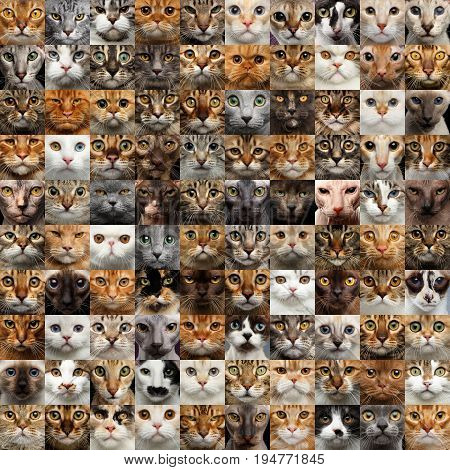 Collage of different 100 Cat Faces, square portraits of group heads