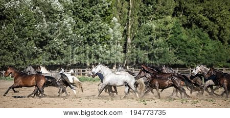 Side view shot of galloping horses at rural animal farm summertime