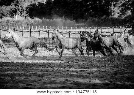 Herd of horses runs home in the sunset summertime black and white photo