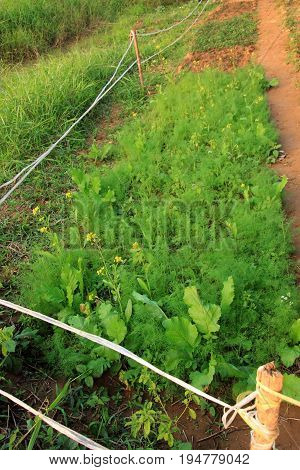 General vegetable grow in countryside backyard garden.