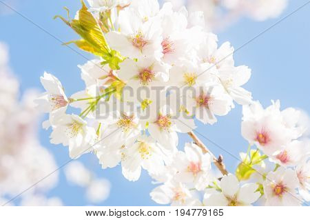 Close-up of white cherry blossom on a blue sky at a sunny day