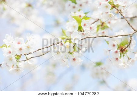 Brenches of white cherry blossoms on a blue sky