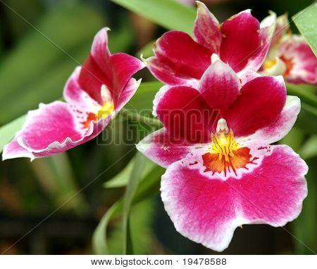 Orchid Miltonia g. Jean Saborin cv. Vulcain