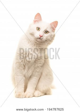 White sitting turkish angora cat sitting and leaning forward to look in the camera isolated on a white background