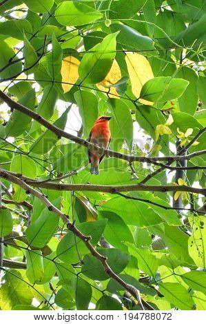 Exotic red bird resting underneath branches of a tree