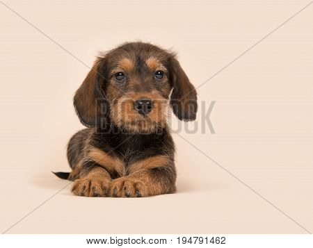 Cute brown dachshund puppy lying downs on a creme background facing the camera