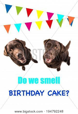 Two brown labrador retriever dog looking up with text do we smell birthday cake on a birthday card on a white background with party garlands