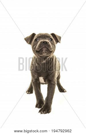 Cute grey stafford terrier puppy dog head up smiling facing the camera isolated on a white background