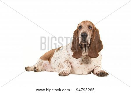 Older overweight basset hound lying down facing the camera seen from the side isolated on a white background