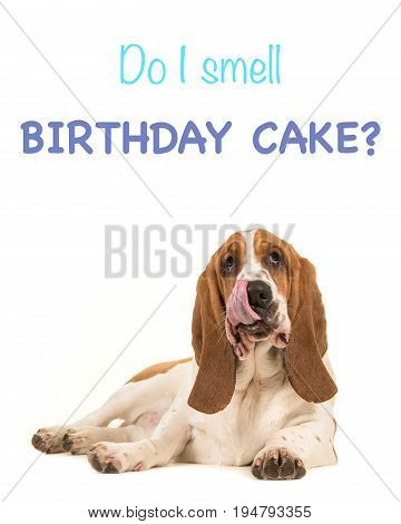 Basset hound lying on the floor facing the camera with its tongue out of its mouth licking its mouth isolated on a white background with the text Do I smell birthday cake as a birthday card