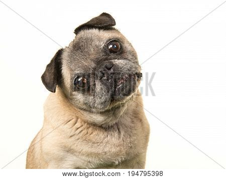 Portrait of a senior dog pug facing the camera and tilting its head on a white background
