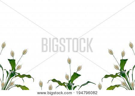 Exotic flower spathiphyllum isolated on white background