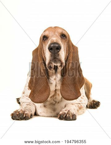 Adult basset hound lying down facing the camera seen from the front isolated on a white background