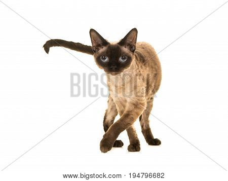 Pretty seal point devon rex cat with blue eyes walking to the camera and looking straight into the camera isolated on a white background